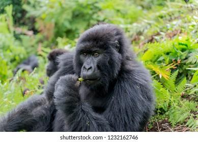 black mountain gorilla in uganda and rwanda