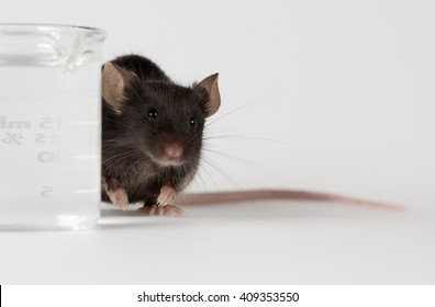 Black mouse for research