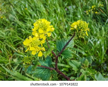 Black mustard, Brassica nigra, growing in Galicia, Spain