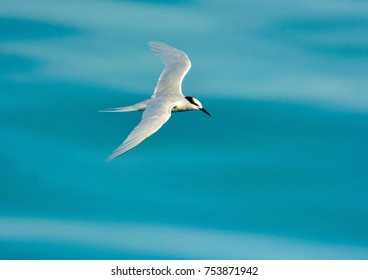 BLACK NAPE TERN FLYING , BLURRY BLUE IN BACKGROUND