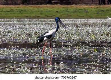 Black necked stork or Jabiru wading in a billabong searching on prey, Yellow Water, Kakadu National park, Australia
