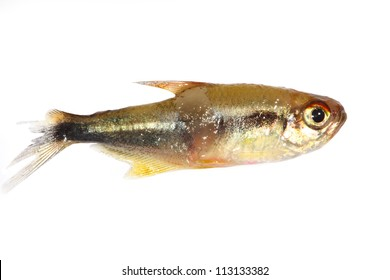 Black neon tetra (Hyphessobrycon herbertaxelrodi) fish injured in fight with open wounds and damaged fins
