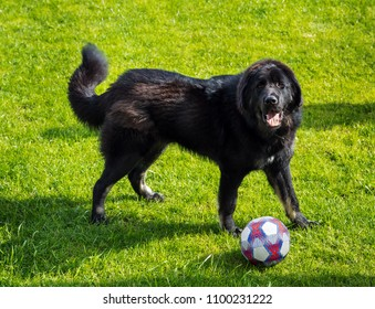 Black newfoundland dog playing with ball on green grass field