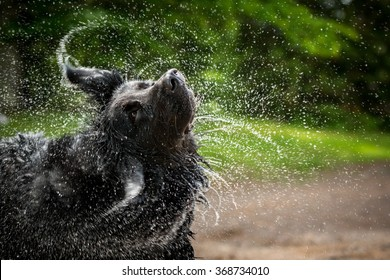 A black Newfoundland and Golden Retriever mixed-breed dog shakes water from his head.