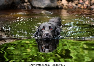 A black Newfoundland and Golden Retriever mixed-breed dog swimming in a lake.