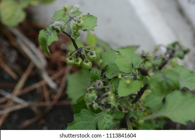 """""""Black nightshade"""" is seen  in the streets"""