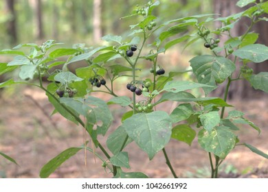 black nightshade shrub berries and wide leaves. purple-black ball-shaped fruits, ripening on lush racemes