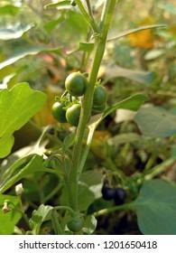 Black nightshade (Solanum nigrum) in the period of fruiting