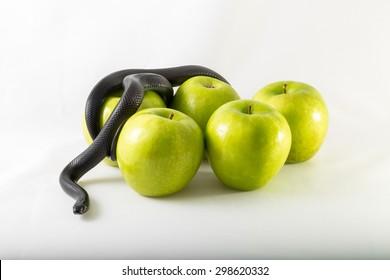 Black nigrita snake on green smith apples isolated, on white background, temptation concept, poison apples concept, original sin.