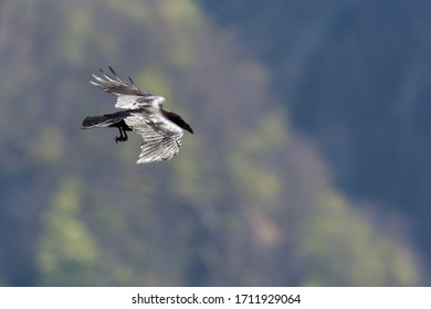 black northern raven (corvus corax) in flight in front of green forest with outstretched legs