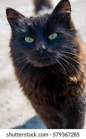 Black Norwegian forest cat
