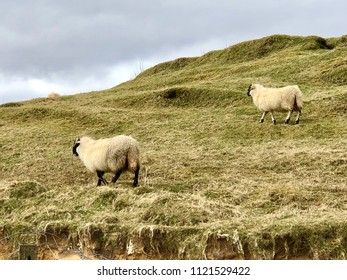Black nose sheep in pasture on green hill, at Isle of Skye in the Highlands of Scotland.