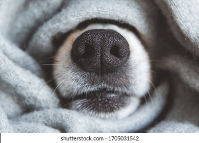Black nose of welsh corgi pembrok dog covered in grey material scarf. autumn season spanding time. cozyness and funny dog - Shutterstock ID 1705031542
