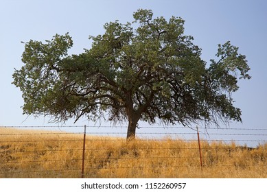 The Black Oak Tree is common on this California ranch nestled in the foothills of the Sierra Nevada Range.