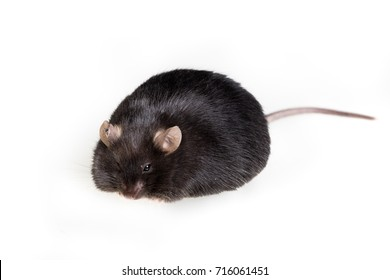 black obese mouse