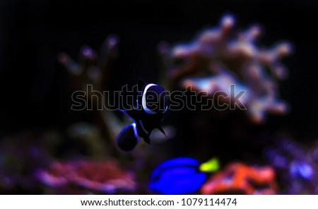 black ocellaris clownfish aquarium stock photo edit now 1079114474
