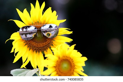 Black oil sunflower in a field planted for bird seed wearing a pair of sunglasses. The sunflower has a smiley face on it