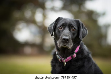 black old labrador retriever in the park