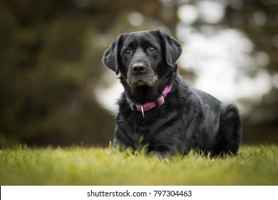 black old labrador retriever in the park