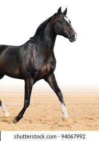 Black Oldenburge stallion trot on arena
