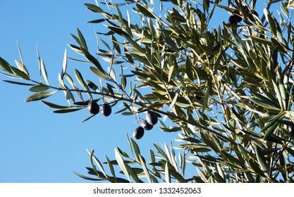 black olives on branch, blue sky
