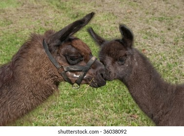black one week old baby Llama with it's mother nose to nose