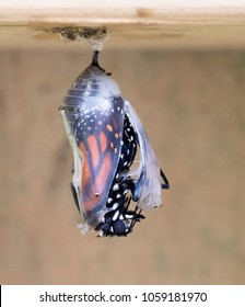 Black, orange, and white monarch butterfly partially emerging from a clear chrysalis on a wood fence.