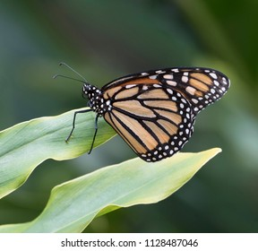 Black, orange and white monarch butterfly is standing on a light green leaf against a darker green blurred background.