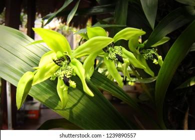 Black Orchid Coelogyne Pandurata  from Borneo