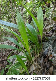 Black Orchid (Coelogyne pandurata) in the Tropical Mountains of Borneo