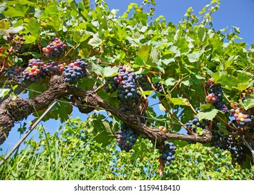 Black organic grapes in a vineyard in Piedmont, Italy. Low view.