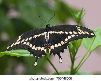 Black, pale yellow, red, and blue giant swallowtail butterfly against a blurred green plant and pale peach colored wall background
