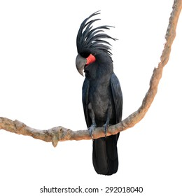 black palm cockatoo perching on a branch on white background