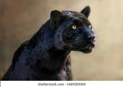 Black panter with intense look