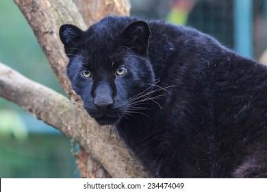 black panther close up