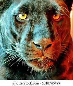 Black Panther (Latin Panthera) is a rare animal in nature. Her beauty is beyond doubt. Black panthers have an active lifestyle mainly at night
