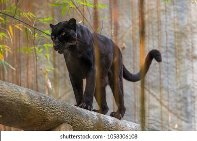 A black panther is the melanistic color variant of any big cat species. Black panthers in Asia and Africa are leopards and those in the Americas are black jaguars.