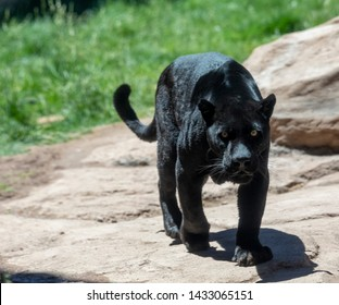 A black panther is the melanistic color variant of any big cat species. Black panthers in Asia and Africa are leopards (Panthera pardus), and those in the Americas are jaguars (Panthera onca).