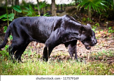 Black panther in Mexico