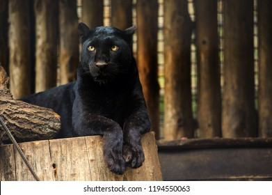 Black panther portrait. Animal world