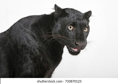 black panther portrait with white background studio shot
