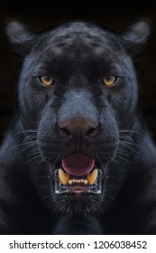 Black panther shot close up with black background