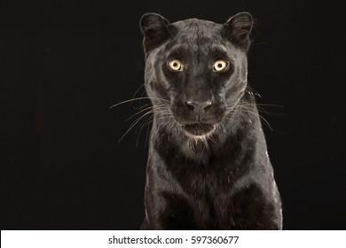Black Panther Studio shot looking at the camera