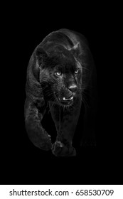 Black Panther Walking Out Of The Dark And Into Light Amazing Wildlife Wallpaper