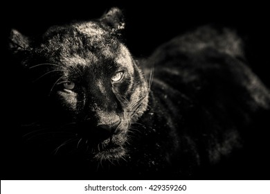black panther black and white portrait