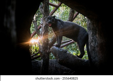 the Black Panther in zoo.