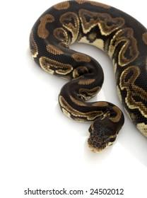 Black Pastel Ball Python (Python regius) on white background.