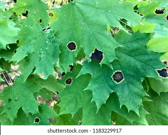 Black patch on the leaves of the maple. The disease is caused by the fungus Rhytisma acerinum. With this disease, large, round, black, slightly convex spots with a yellowish-green border are formed.