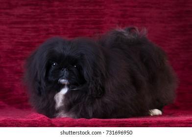 Black Pekingese puppy portrait at studio on red velvet background