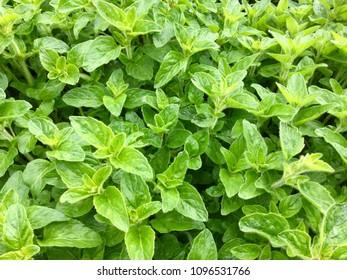 Black pepermint plants